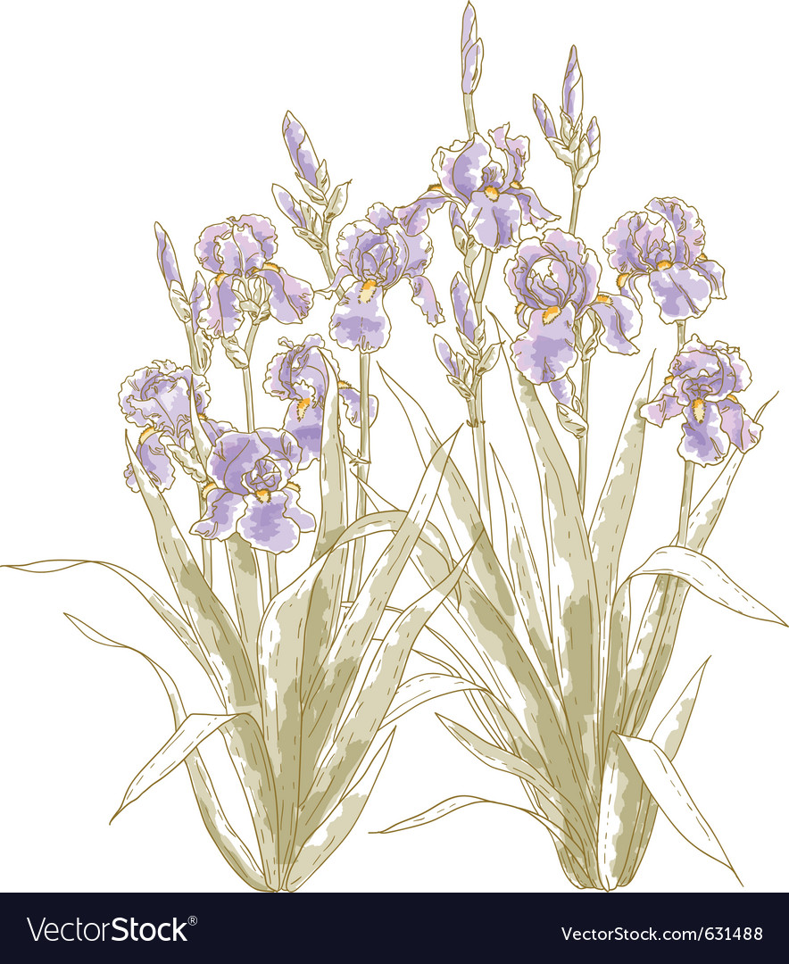 Iris bush on white backgrond vector | Price: 1 Credit (USD $1)