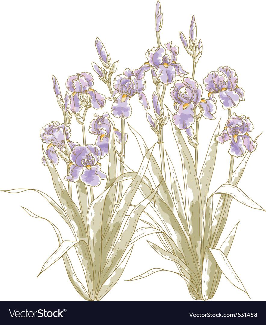 Iris bush on white backgrond vector | Price: 1 Credit (USD $1)