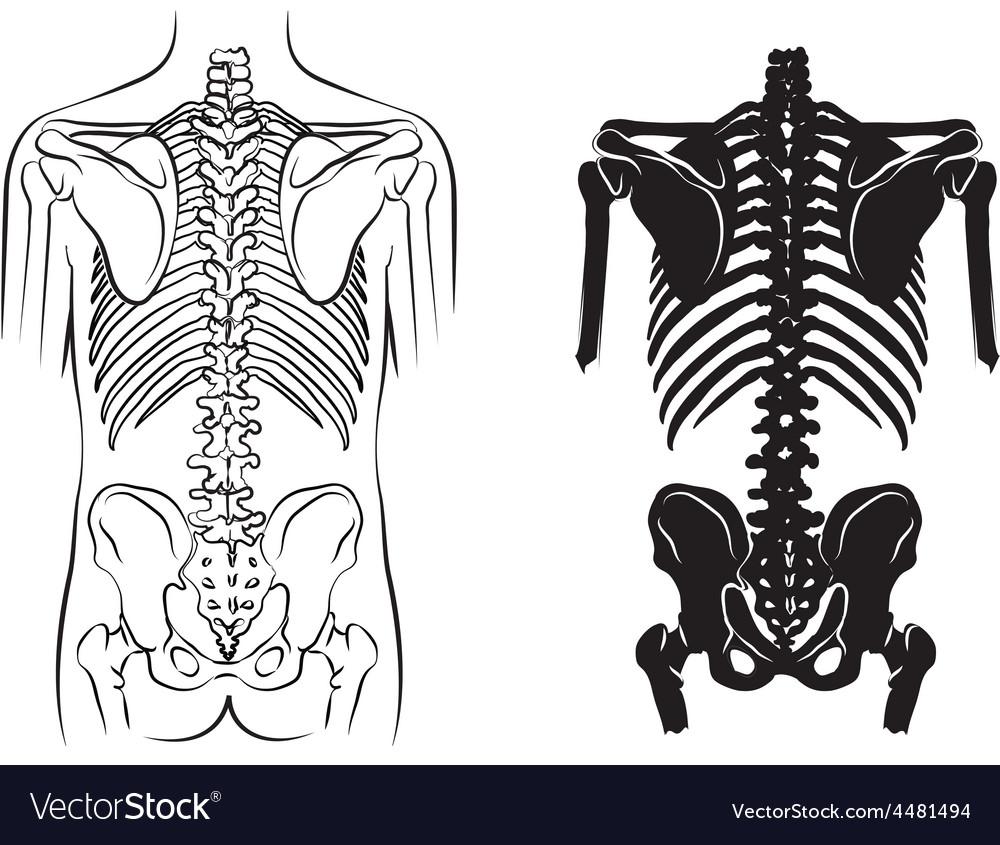 Human bone anatomy vector | Price: 1 Credit (USD $1)