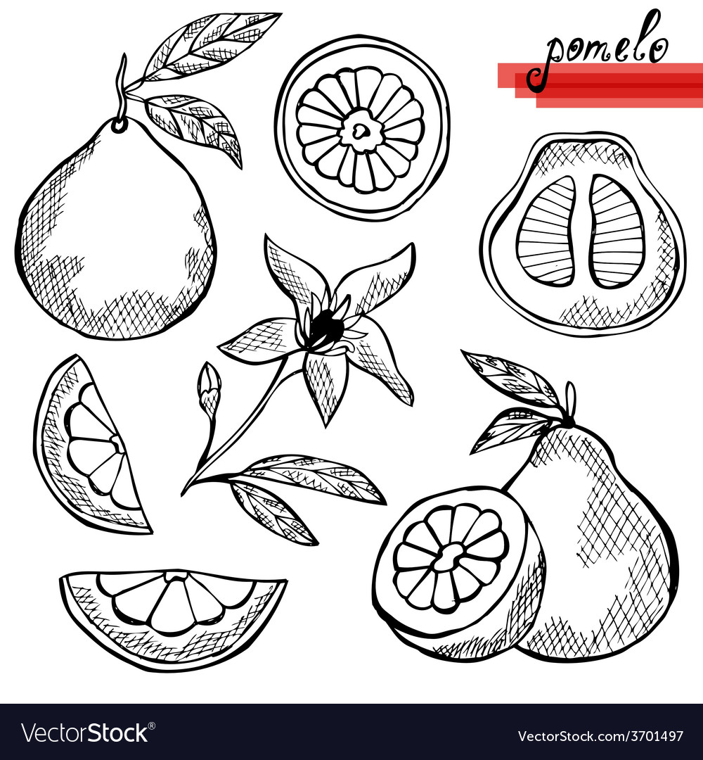 Pomelo vector | Price: 1 Credit (USD $1)
