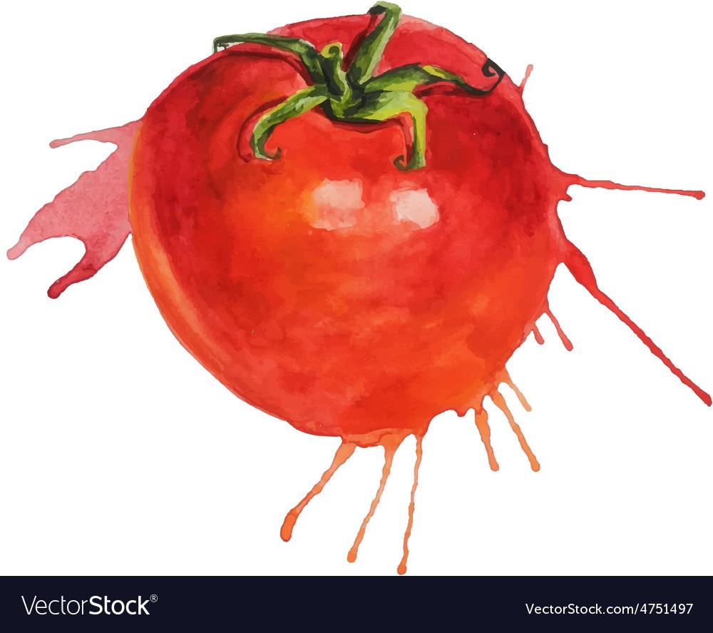 Watercolor tomato sketch vector | Price: 1 Credit (USD $1)