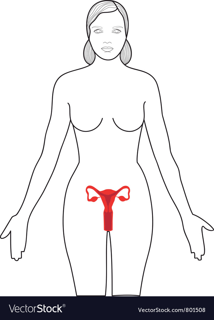 Female reproductive system vector | Price: 1 Credit (USD $1)