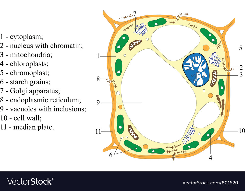 Scheme of structure of the plant cell poster vector | Price: 1 Credit (USD $1)