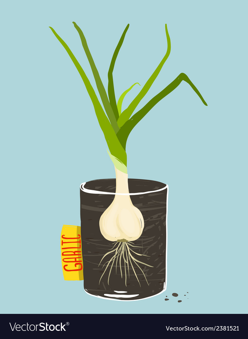 Growing garlic with green leafy top in mug vector | Price: 1 Credit (USD $1)