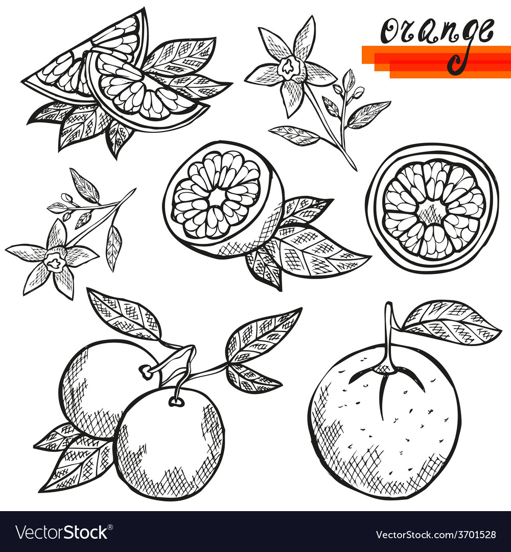 Orange fruits vector | Price: 1 Credit (USD $1)