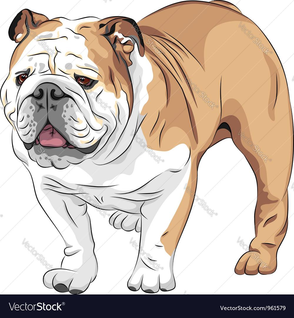 Dog english bulldog breed vector | Price: 3 Credit (USD $3)