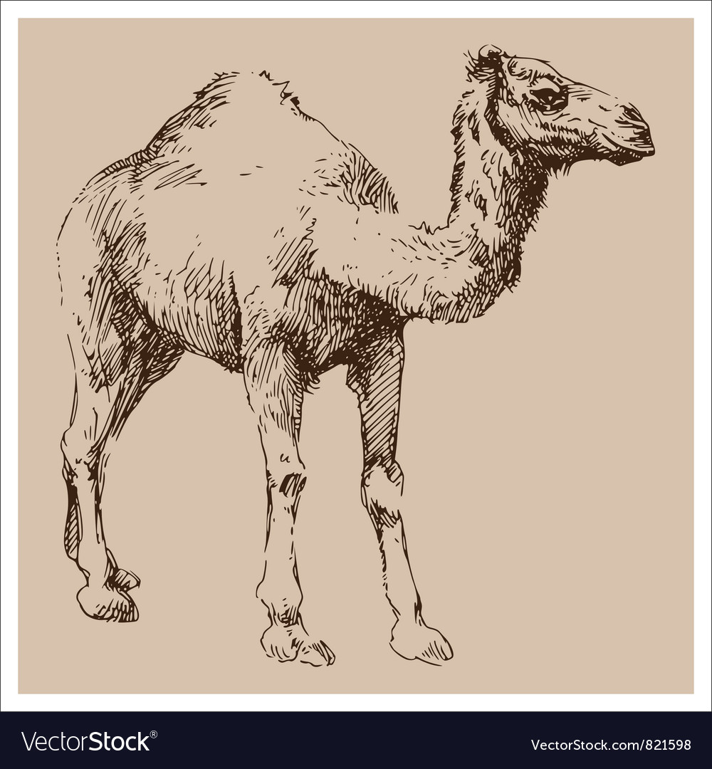 Camel vintage sketch vector | Price: 1 Credit (USD $1)