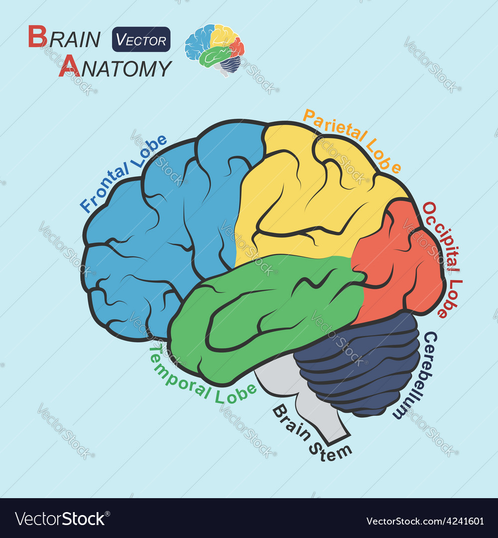 Brain anatomy flat design vt vector | Price: 1 Credit (USD $1)