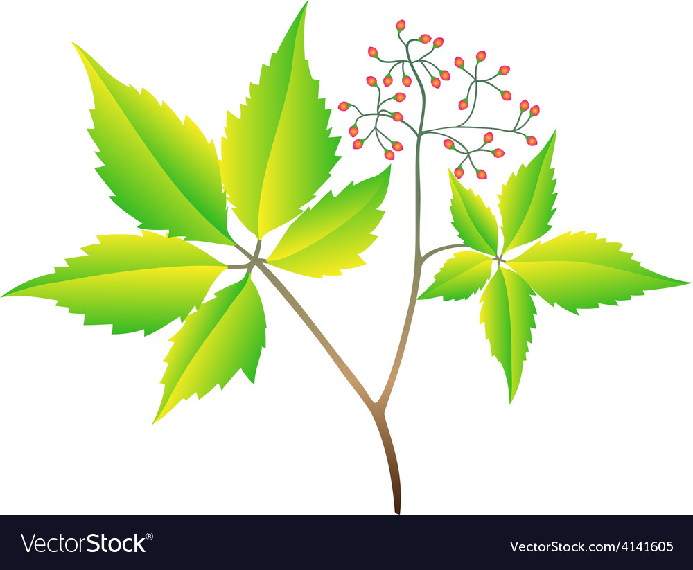 The branch of wild grapes vector | Price: 1 Credit (USD $1)