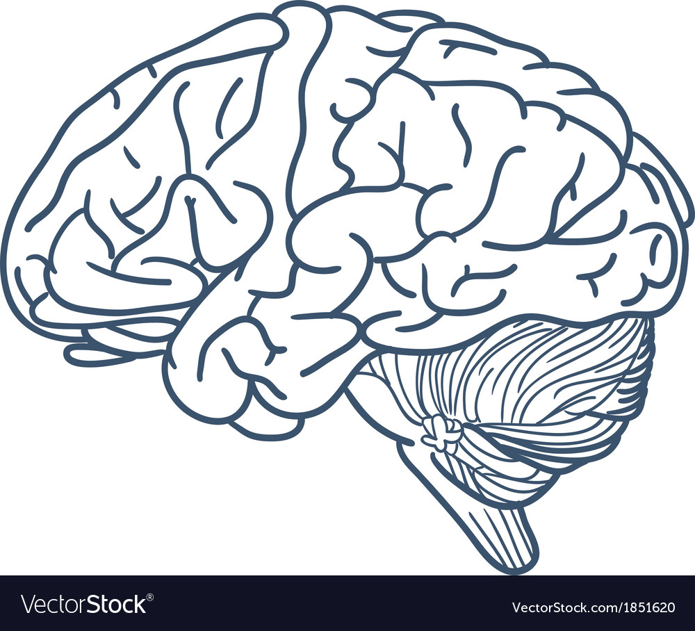 Brain isolated on white vector | Price: 1 Credit (USD $1)