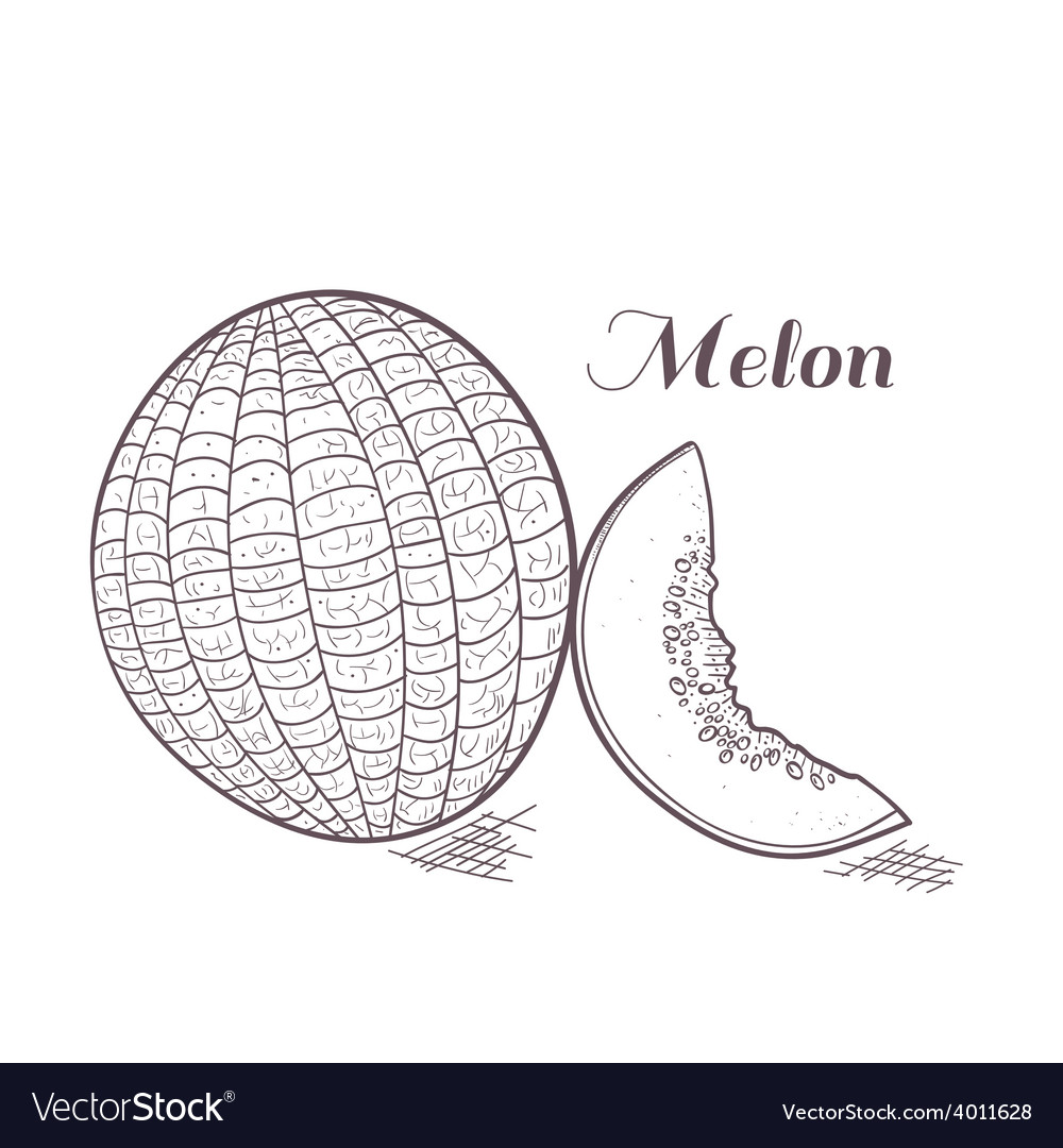 Engaved melon vector | Price: 1 Credit (USD $1)