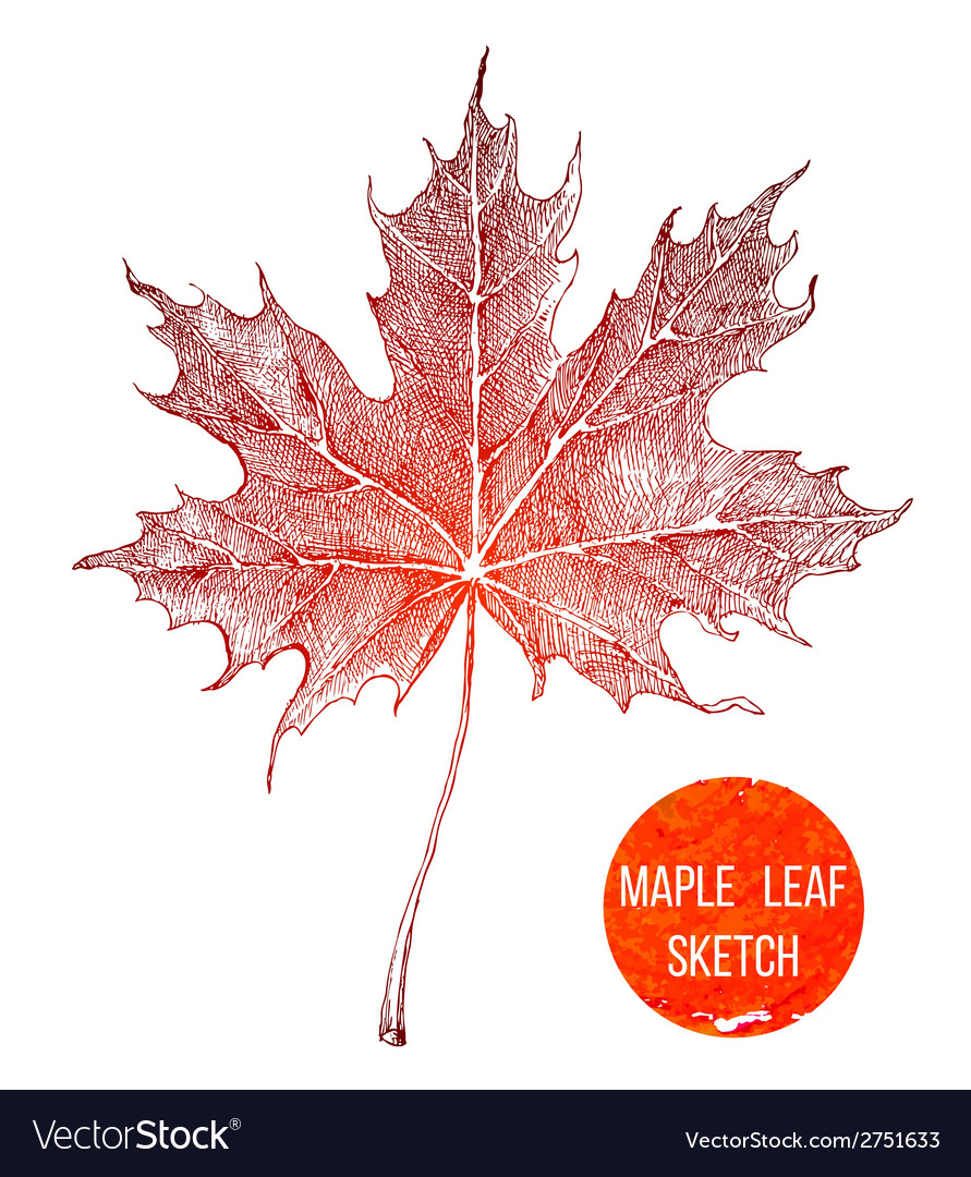 Hand drawn maple leaf vector | Price: 1 Credit (USD $1)