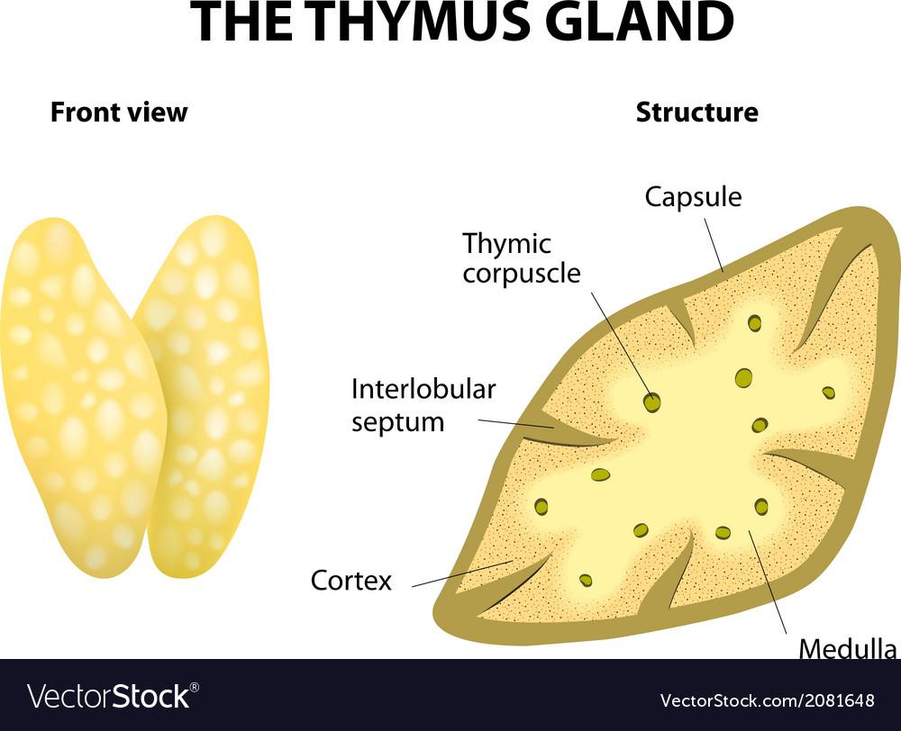 Thymus vector   Price: 1 Credit (USD $1)