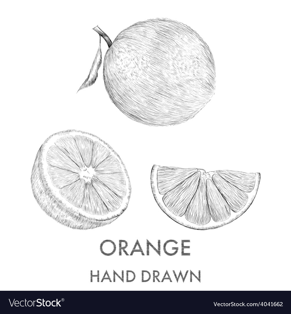 Sketch of the whole orange half and segment hand vector | Price: 1 Credit (USD $1)