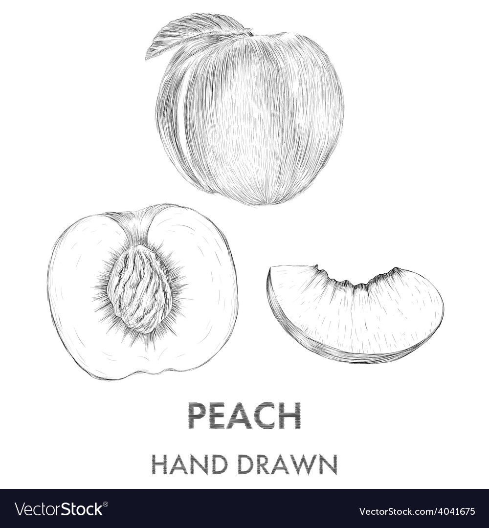 Sketch of the whole peach half and segment hand vector | Price: 1 Credit (USD $1)