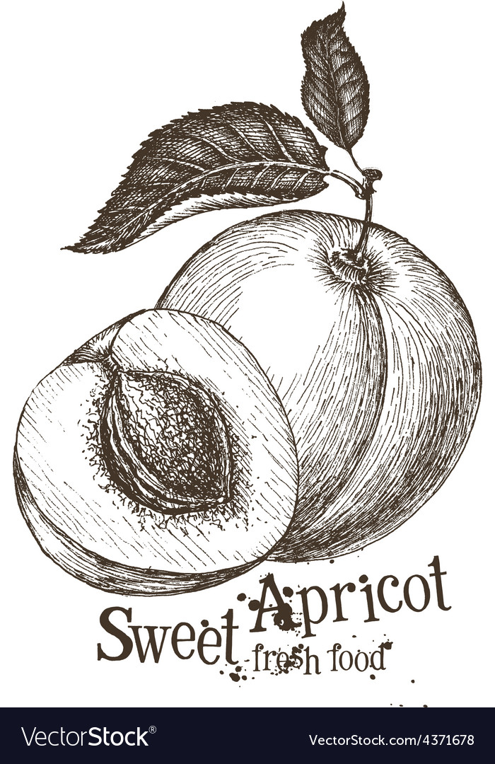 Apricot logo design template fruit or food vector | Price: 3 Credit (USD $3)