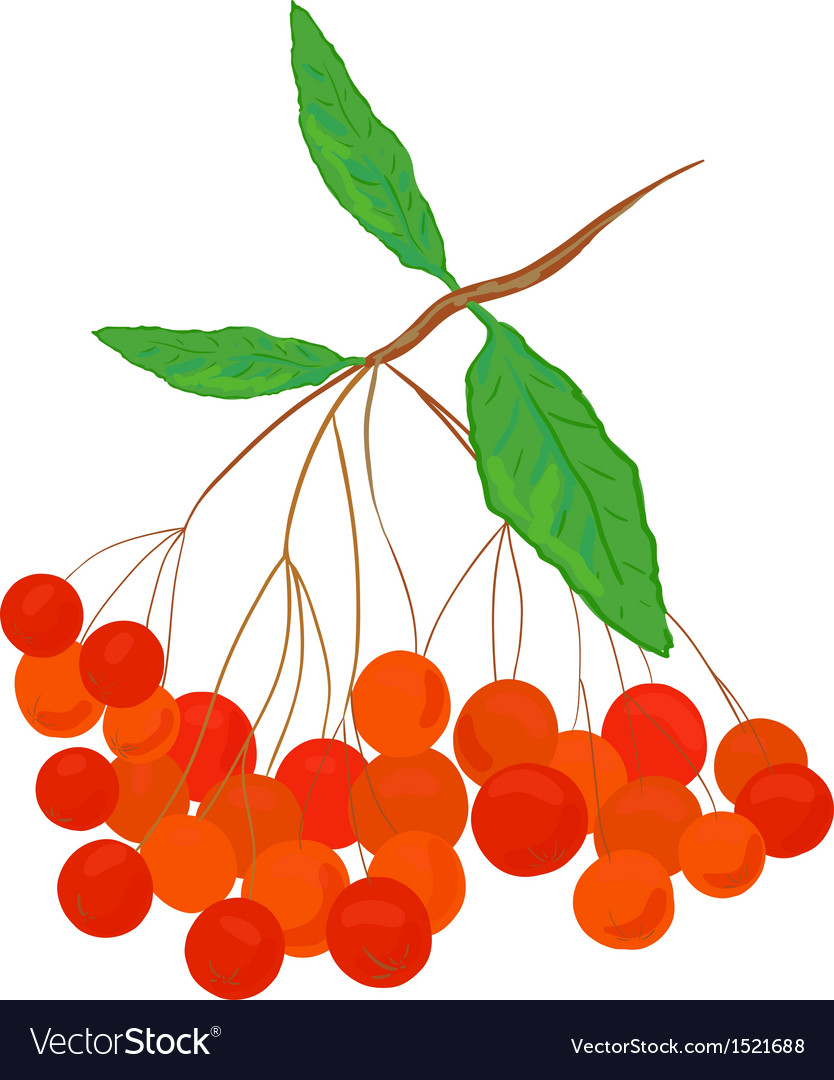 Ashberry vector | Price: 1 Credit (USD $1)
