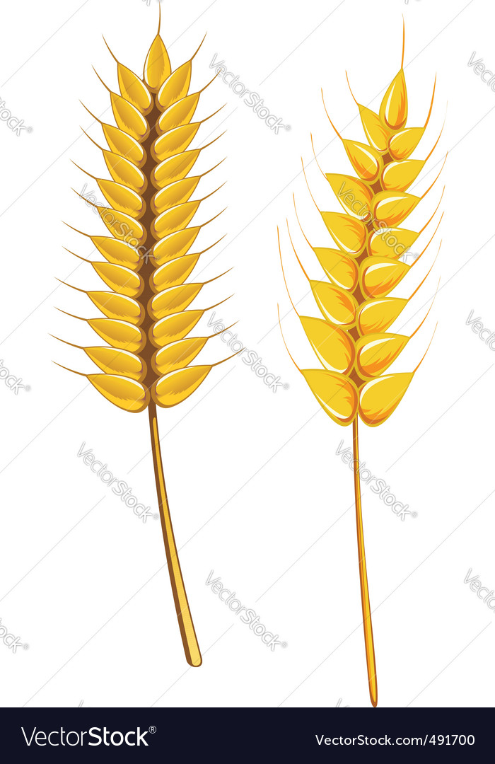 Wheat and barley vector | Price: 1 Credit (USD $1)