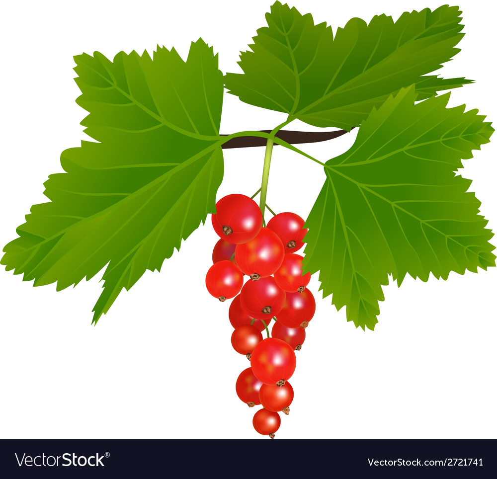 Redcurrant vector | Price: 1 Credit (USD $1)