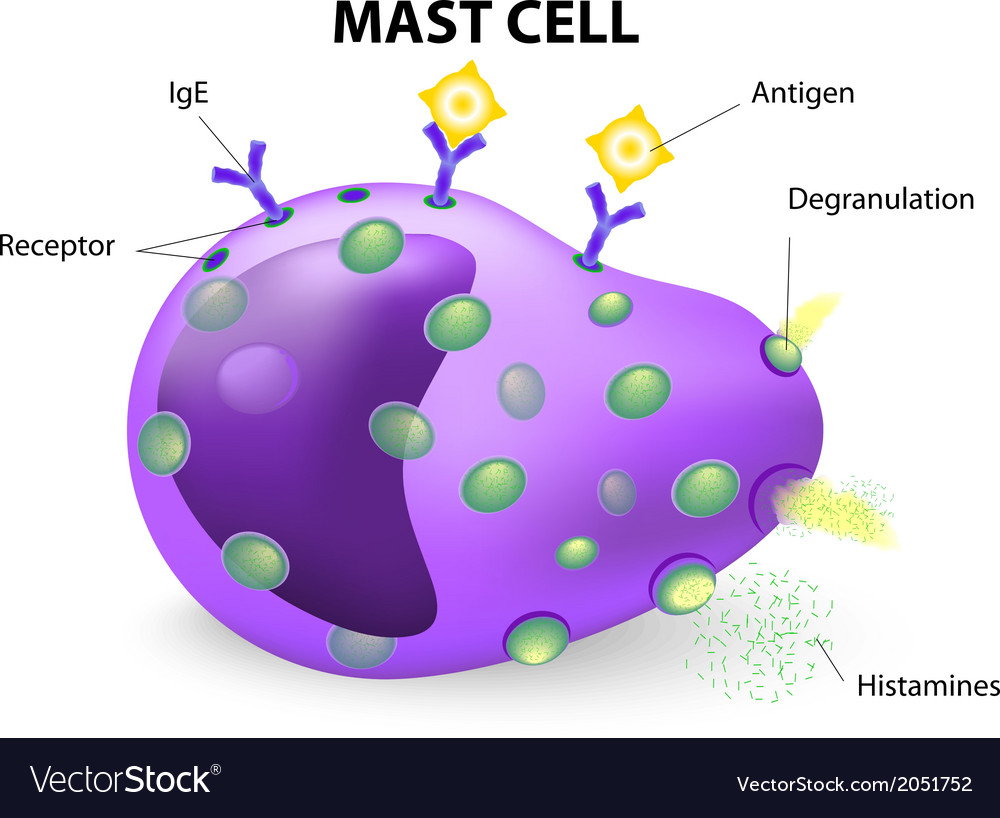 Mast cell vector | Price: 1 Credit (USD $1)