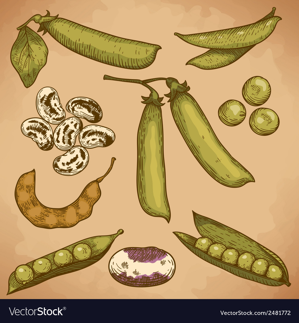Engraving beans and peas retro vector | Price: 1 Credit (USD $1)