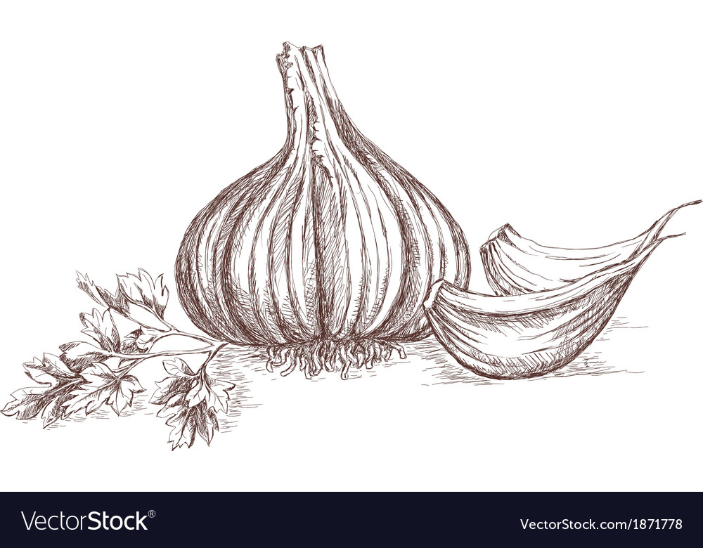 Garlic and parsley hand drawing vector | Price: 1 Credit (USD $1)