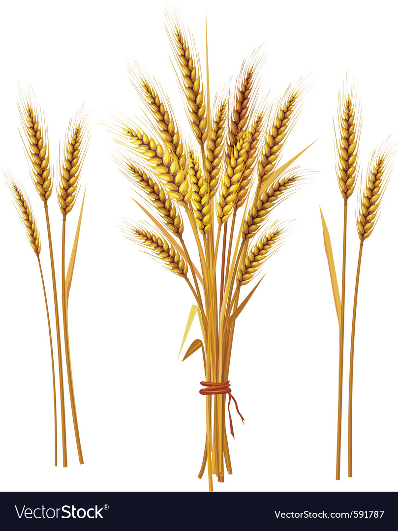 Spike wheat vector | Price: 3 Credit (USD $3)