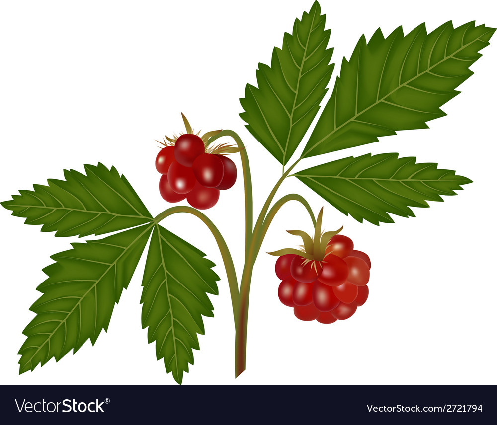Arctic bramble vector | Price: 1 Credit (USD $1)