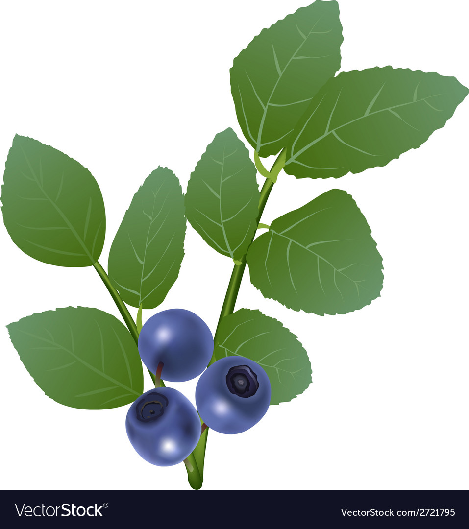 Blueberry vector | Price: 1 Credit (USD $1)