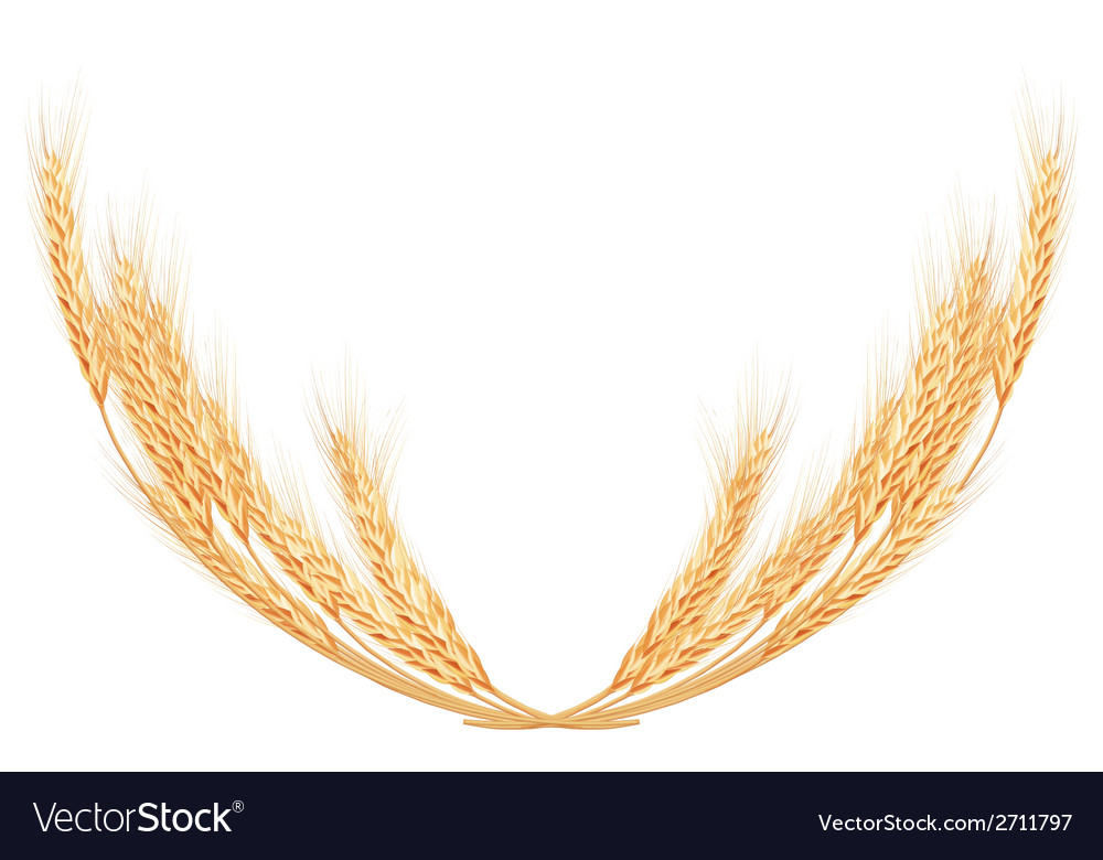 Wheat spikes on white template eps 10 vector | Price: 1 Credit (USD $1)
