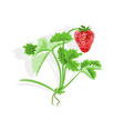 Strawberry and leaves vector