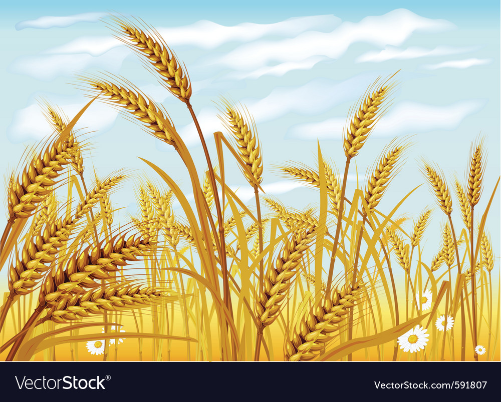 Wheat in the field vector | Price: 3 Credit (USD $3)