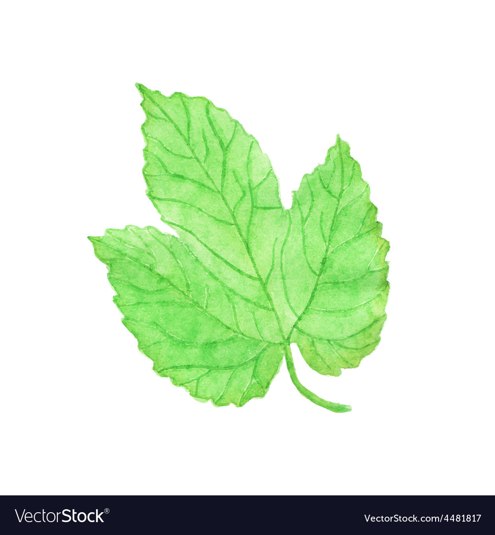 Watercolor hops leaf aquarelle vector | Price: 1 Credit (USD $1)