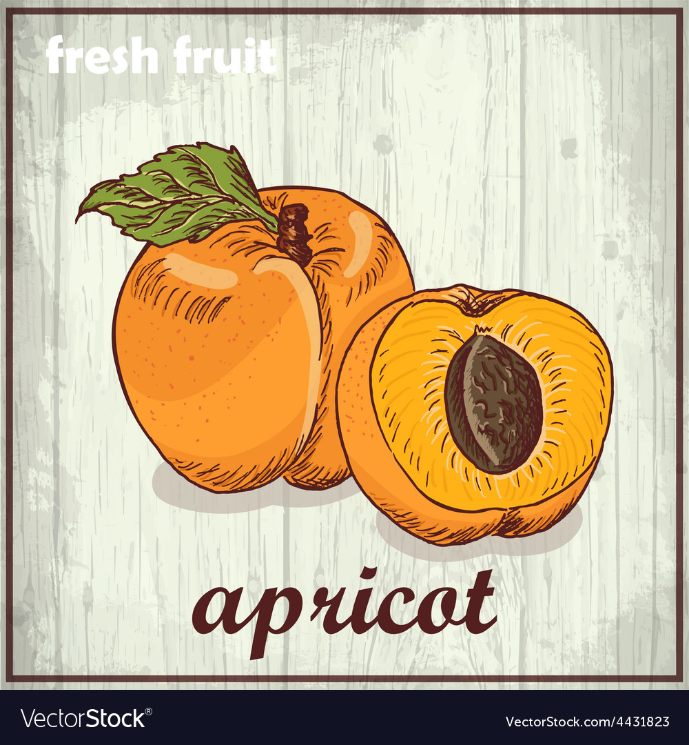 Hand drawing of apricot fresh fruit sketch vector | Price: 1 Credit (USD $1)
