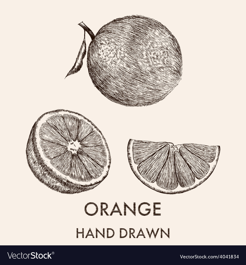 Sketch of whole orange half and segment hand drawn vector | Price: 1 Credit (USD $1)