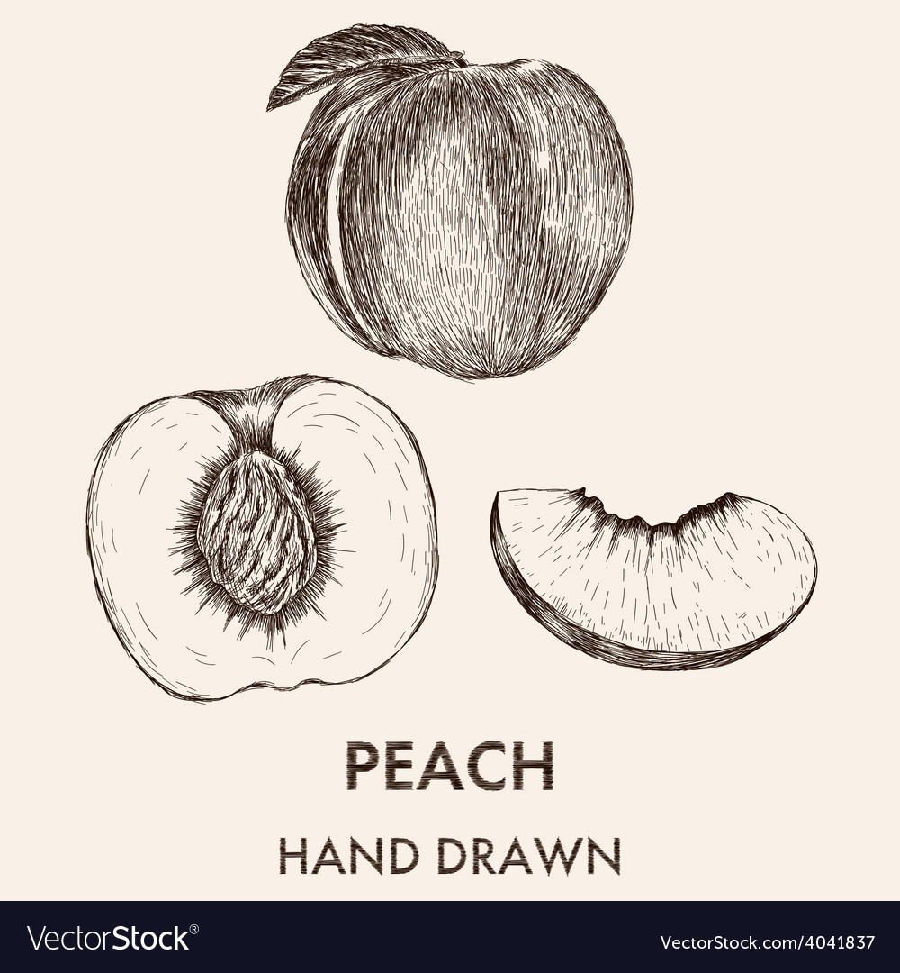 Sketch of whole peach half and segment hand drawn vector | Price: 1 Credit (USD $1)