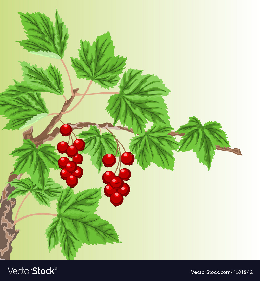 Twig garden currant bushes with red berries vector | Price: 1 Credit (USD $1)