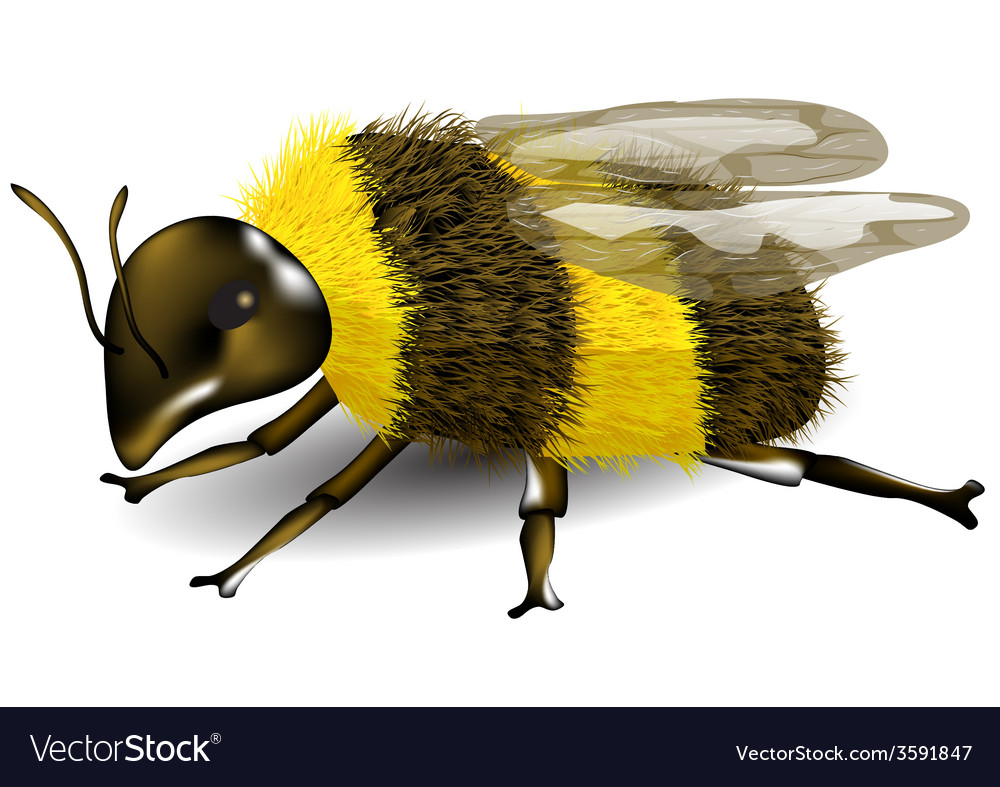 Buff tailed bumblebee vector | Price: 1 Credit (USD $1)