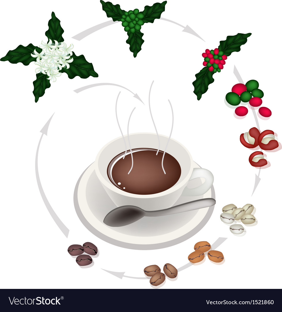 The process of a delicious hot coffee vector | Price: 1 Credit (USD $1)