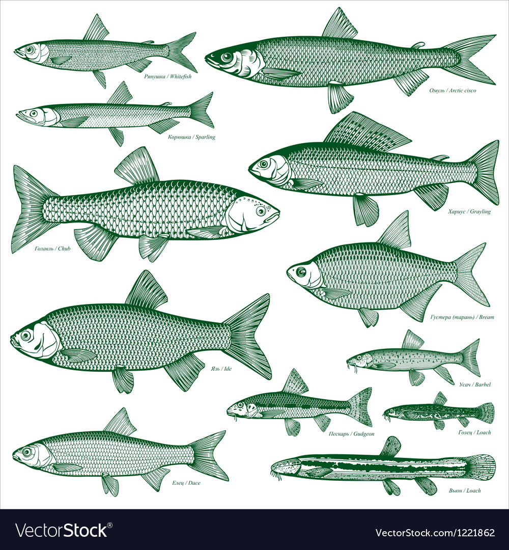 Fish freshwater vector | Price: 1 Credit (USD $1)