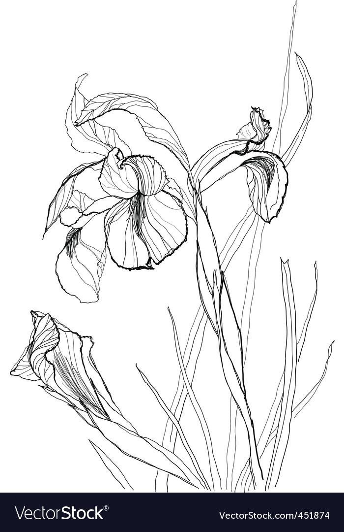 Iris flowers vector | Price: 1 Credit (USD $1)