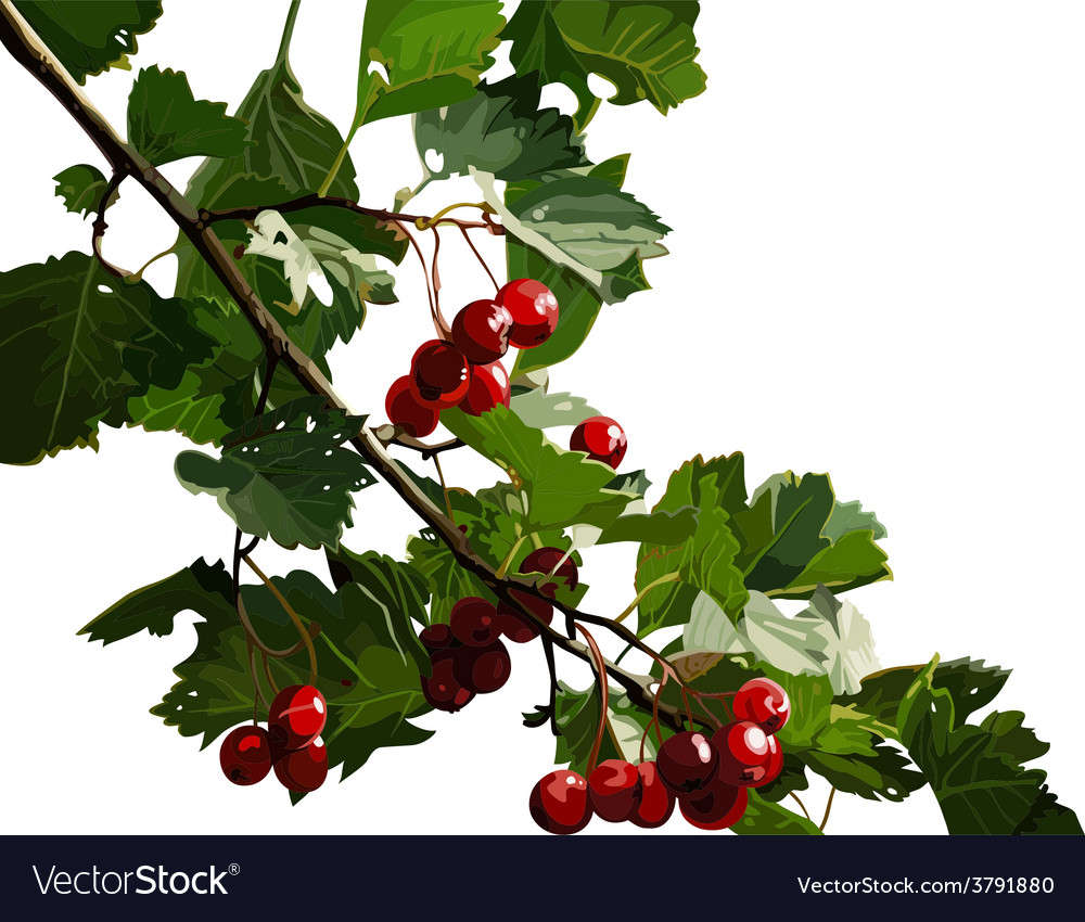 Red viburnum berries on a branch vector | Price: 1 Credit (USD $1)