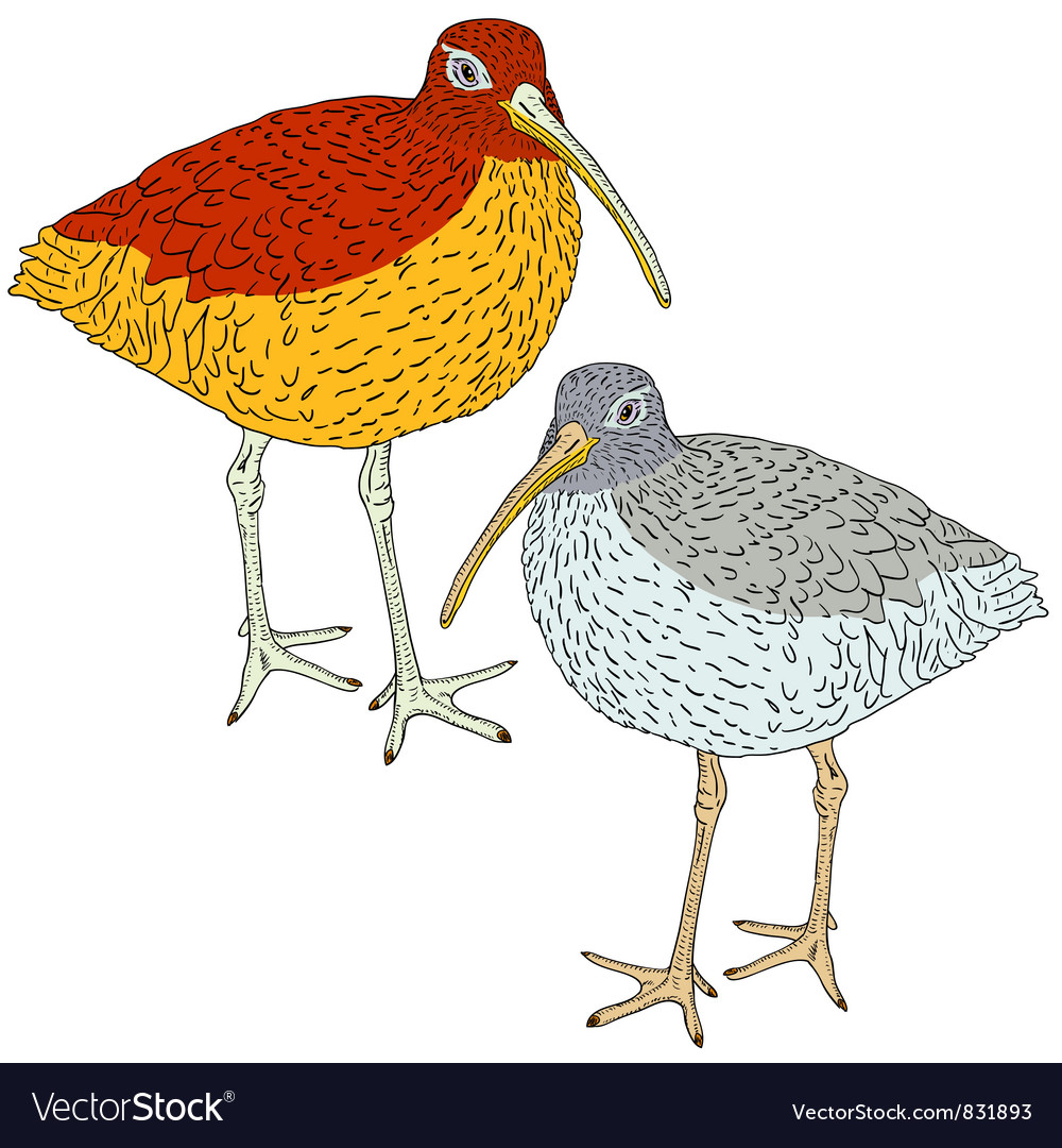 Eurasian curlew bird vector | Price: 1 Credit (USD $1)
