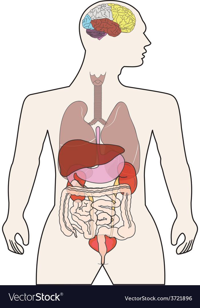 Human body organ vector | Price: 1 Credit (USD $1)