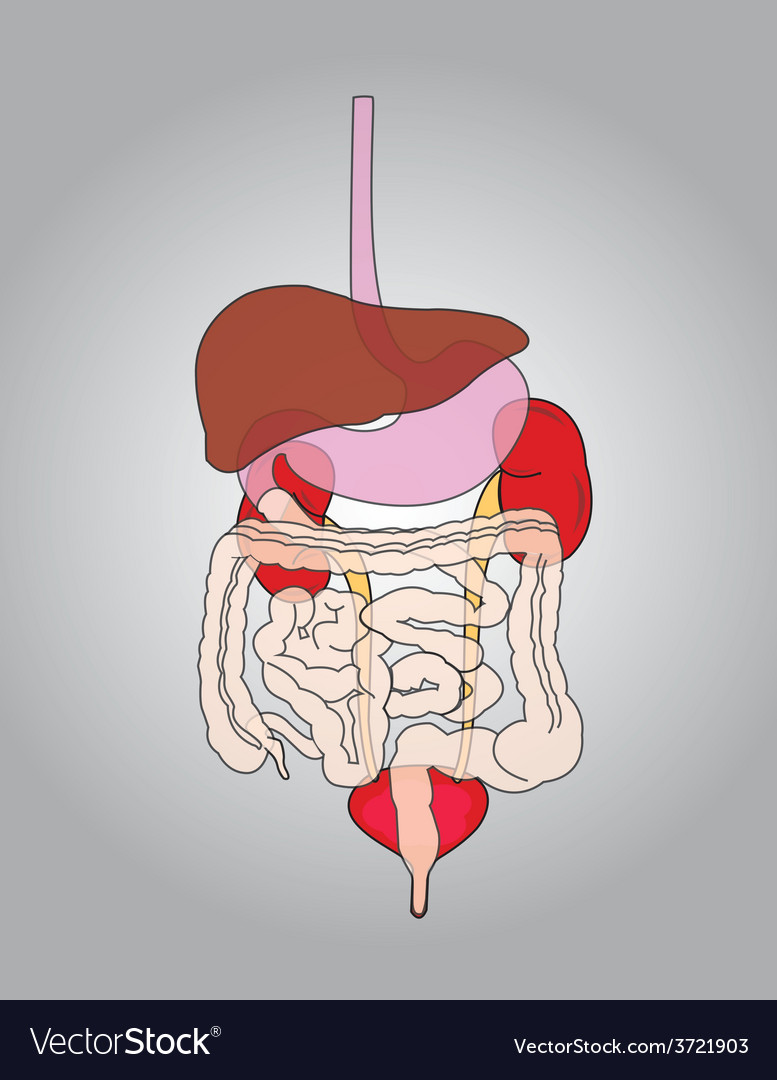 Human body organs vector | Price: 1 Credit (USD $1)
