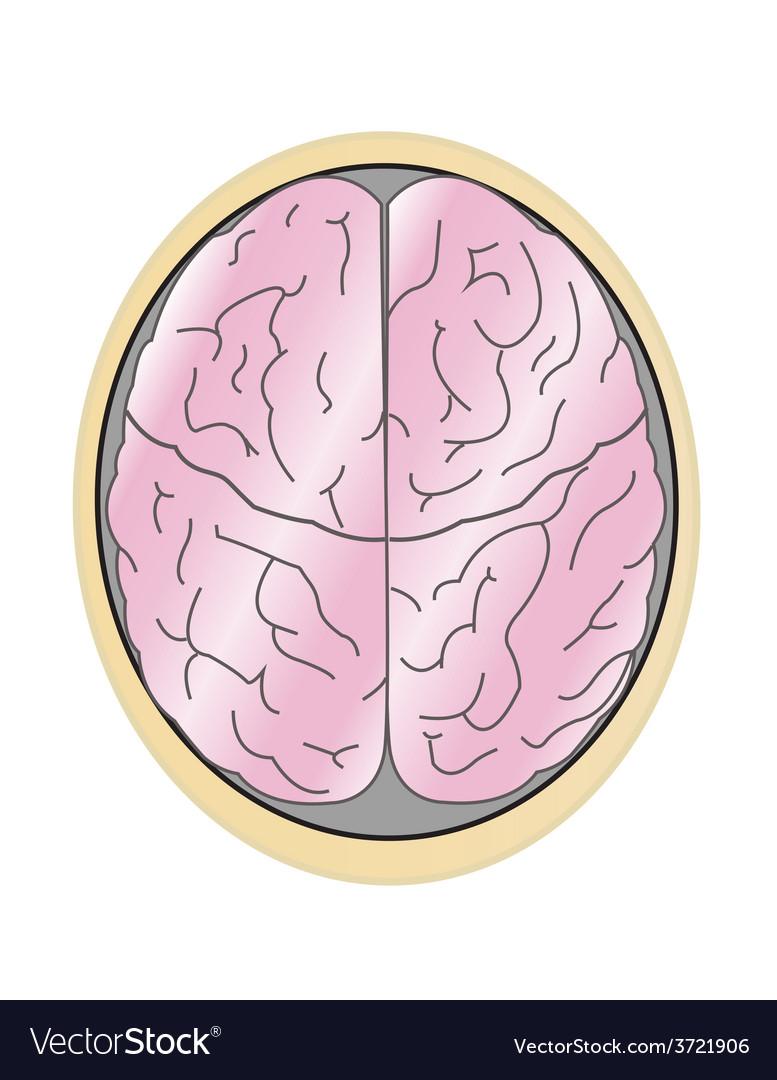 Human brain vector | Price: 1 Credit (USD $1)