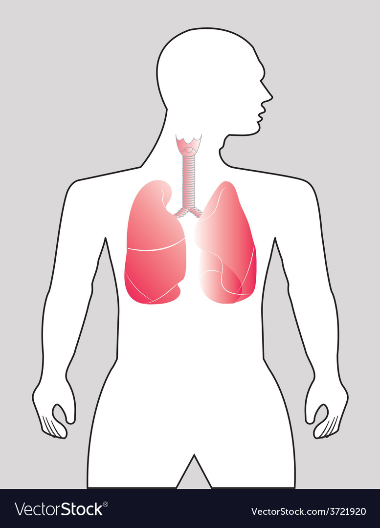 Human lungs vector | Price: 1 Credit (USD $1)