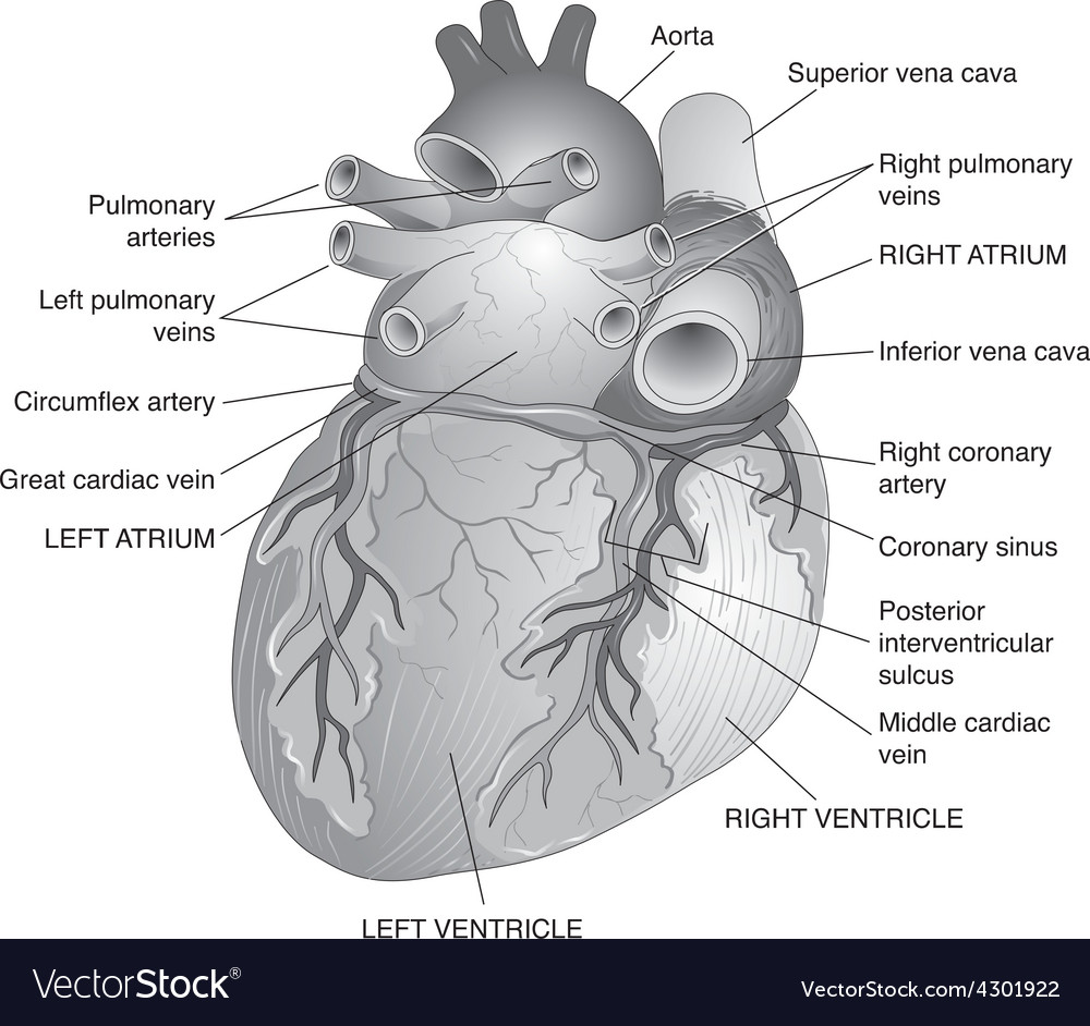 Posterior view of the human heart vector | Price: 3 Credit (USD $3)