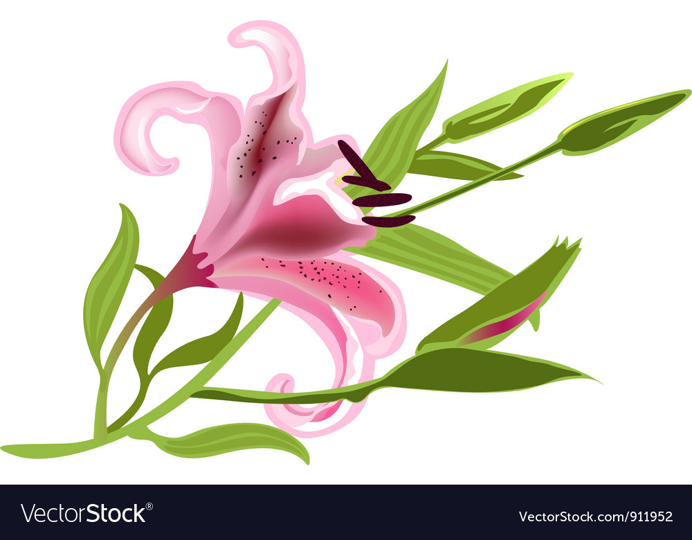 Pink lily vector | Price: 1 Credit (USD $1)