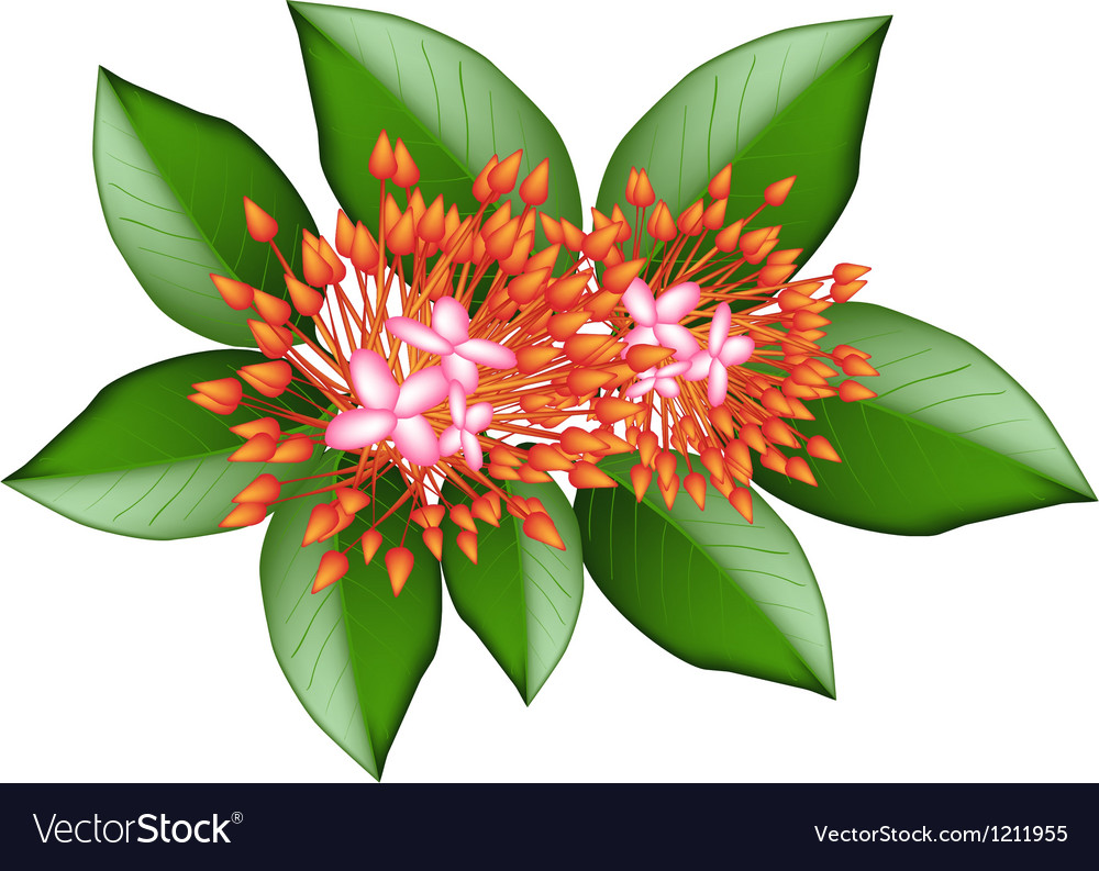 A group of fresh red ixora flowers vector | Price: 1 Credit (USD $1)